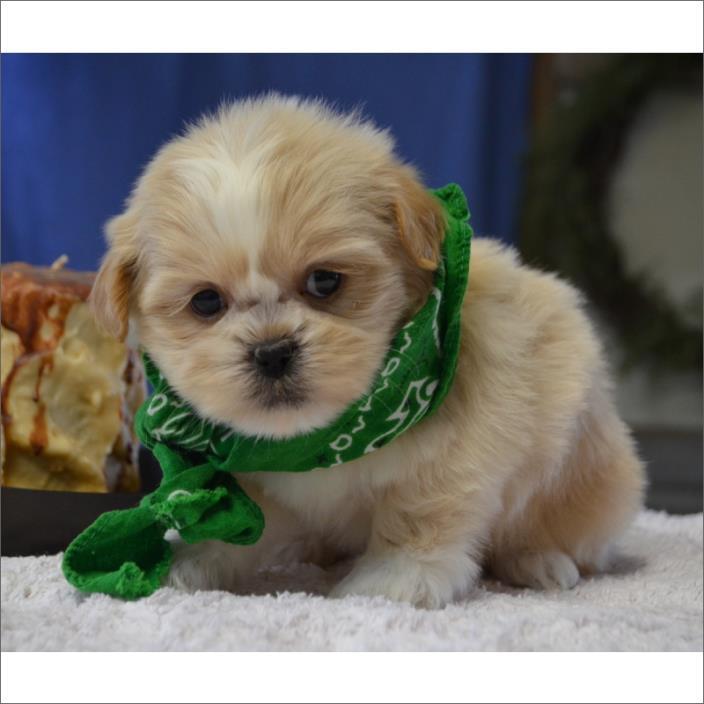 Shih Tzu PUPPY FOR SALE ADN-60222 - Shih Tzu Puppy