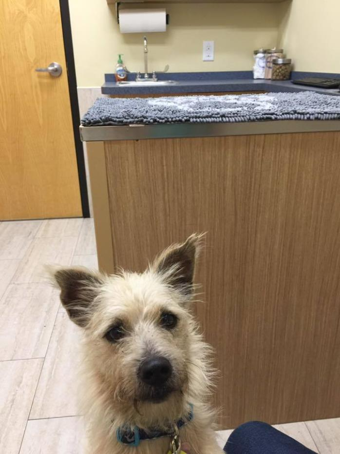 Adopt Canelo a Cairn Terrier