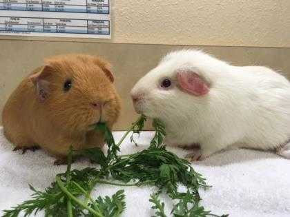 Adopt R2-D2 a White Guinea Pig / Guinea Pig / Mixed (medium coat) small animal