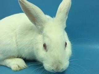 Adopt Don Juan a White Florida White / Mixed rabbit in St. Paul, MN (20483237)