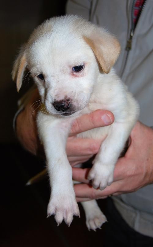 Adopt Tex a White - with Tan, Yellow or Fawn Labrador Retriever / Mixed dog in
