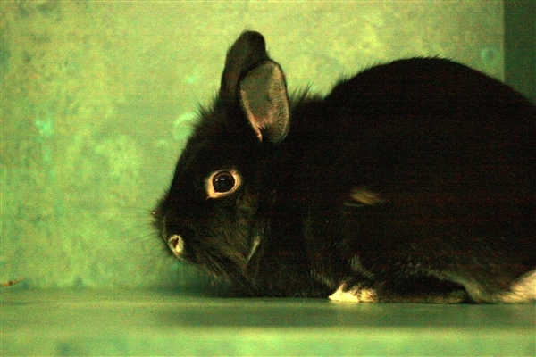 Adopt Sally a Angora Rabbit