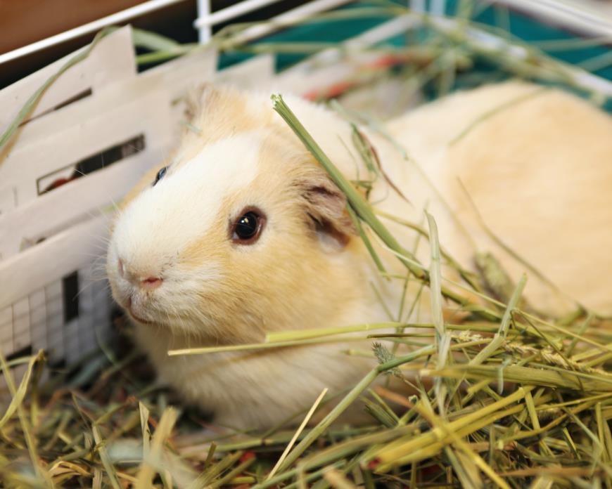 Adopt Fletcher a Guinea Pig