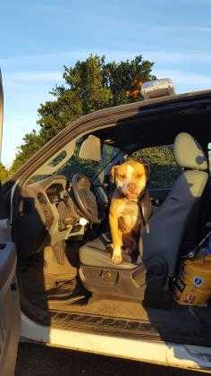 Adopt Neegan a Red/Golden/Orange/Chestnut American Pit Bull Terrier / Mixed dog