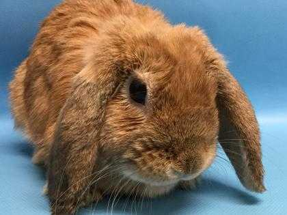 Adopt Thumper a Tan Lop, English / Mixed rabbit in Golden Valley, MN (20489566)