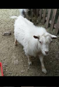 Dwarf Nigerian Billy Goat (Heber)