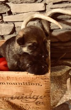 German Shepherd Dog PUPPY FOR SALE ADN-60382 - German Shepherd Puppies