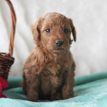 Poodle (Miniature)-Goldendoodle Mix PUPPY FOR SALE ADN-60395 - Family Raised