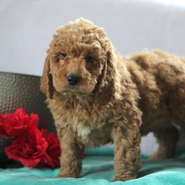 Poodle (Standard)-Goldendoodle Mix PUPPY FOR SALE ADN-60386 - Family Raised