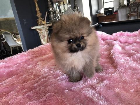 Pomeranian PUPPY FOR SALE ADN-60424 - TEDDY BEAR POMS FOR SALE