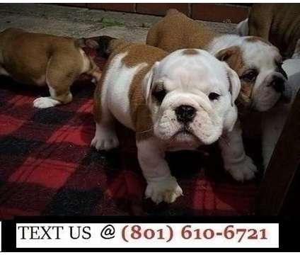 Precious 3 Litter Handsome English Bulldog Puppies