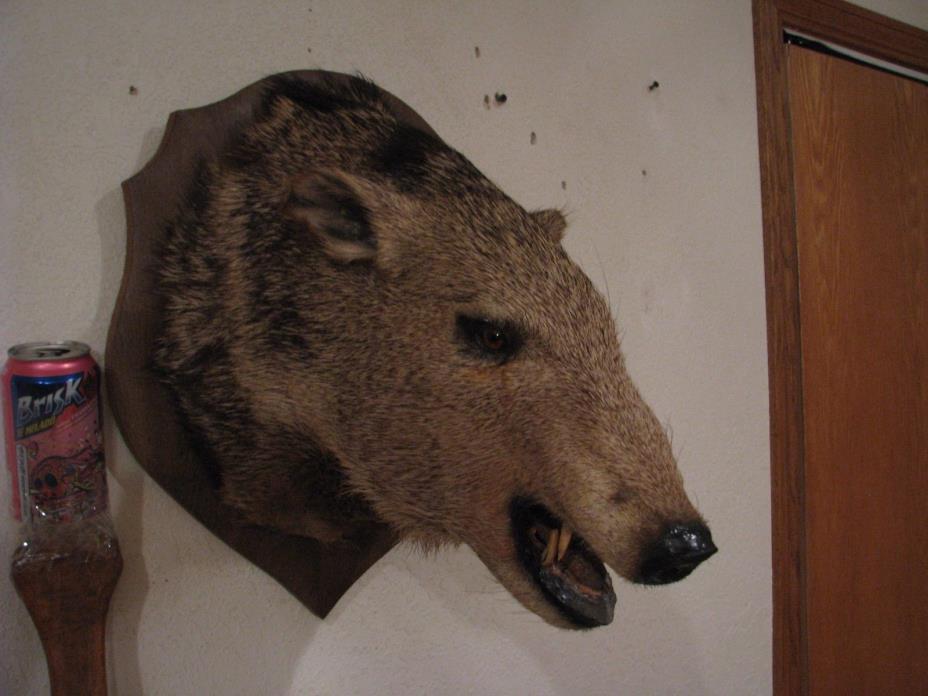 Taxidermy Javelina Wild Boar Hog Peccary Pig Shoulder Mount Hunt Log Cabin Decor