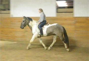 2010 Grulla/White Pinto Draft Cross Gelding