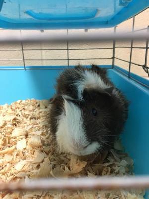 Adopt Ariel a Guinea Pig