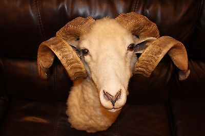 Vintage Corsican Ram Taxidermy Shoulder Mount Exotic Horn Size