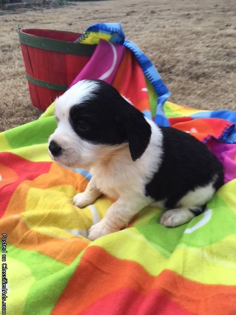 castlerocks english springer spaniel puppies