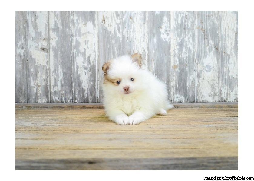 Beautiful Pomeranian Princess!