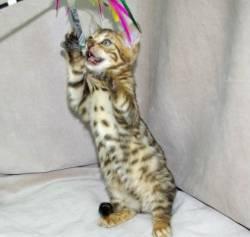 S1mart Bengal kitten at (719) x 695 x 0859