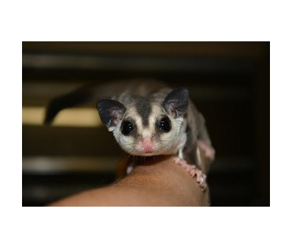 hjgsyj Baby sugar gliders available