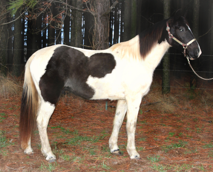 9 Year Old Black & White Spotted Missouri Fox Trotter Trail Gelding