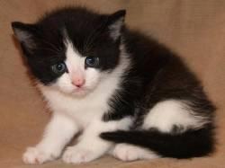 ertret Understanding Cute Ragdoll Kittens