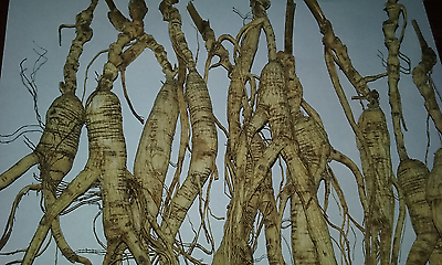 84 GRAM  3 OZ Wild Ginseng Roots  VERY OLD With LONG NECKS