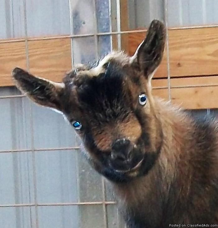 Nigerian Dwarf Goat for Sale
