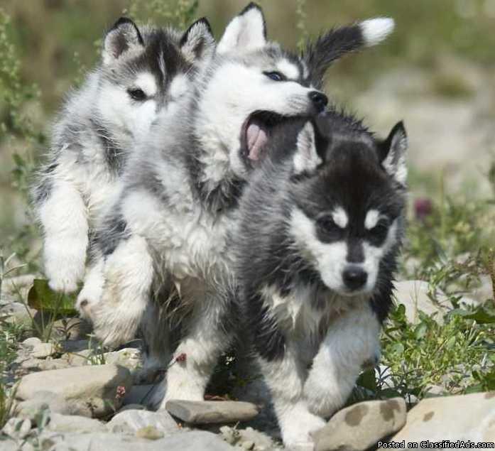Charming Siberian Husky Pups text me at (307) 223-9590