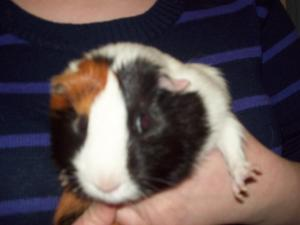 Adopt Augustus a Guinea Pig
