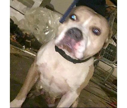 Pitbull needs a good home