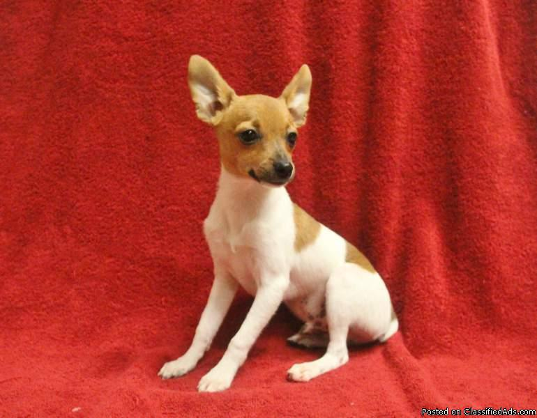 ACA Toy Fox Terrier