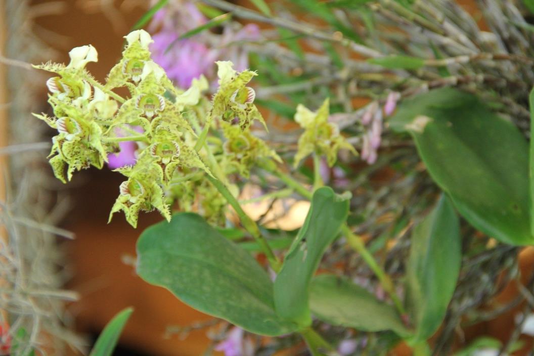 Orchid species Dendrobium polysema