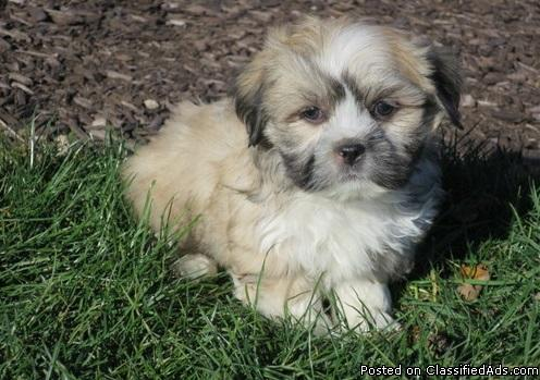 Beautiful male Lhasa available