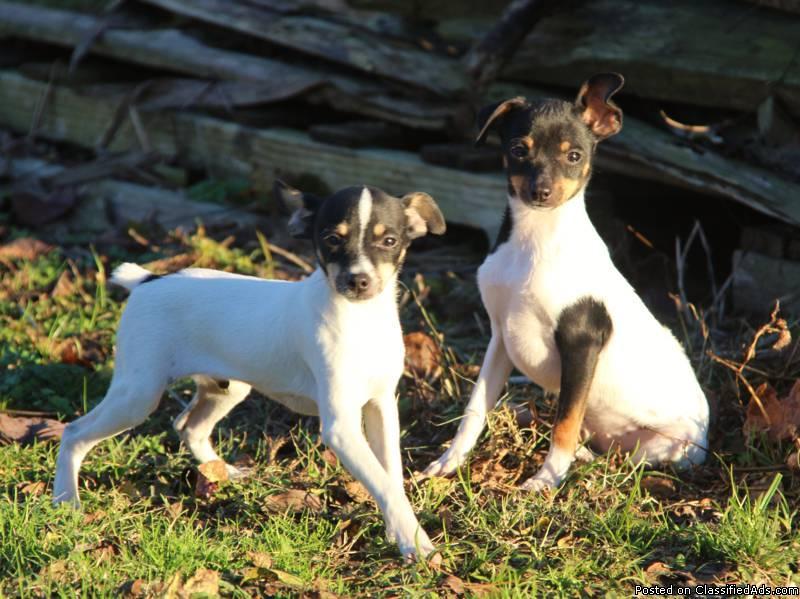 ACA Toy Fox Terrier Male Pups