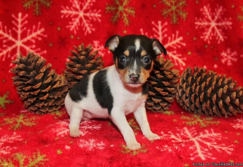ACA Toy Fox Terrier Female