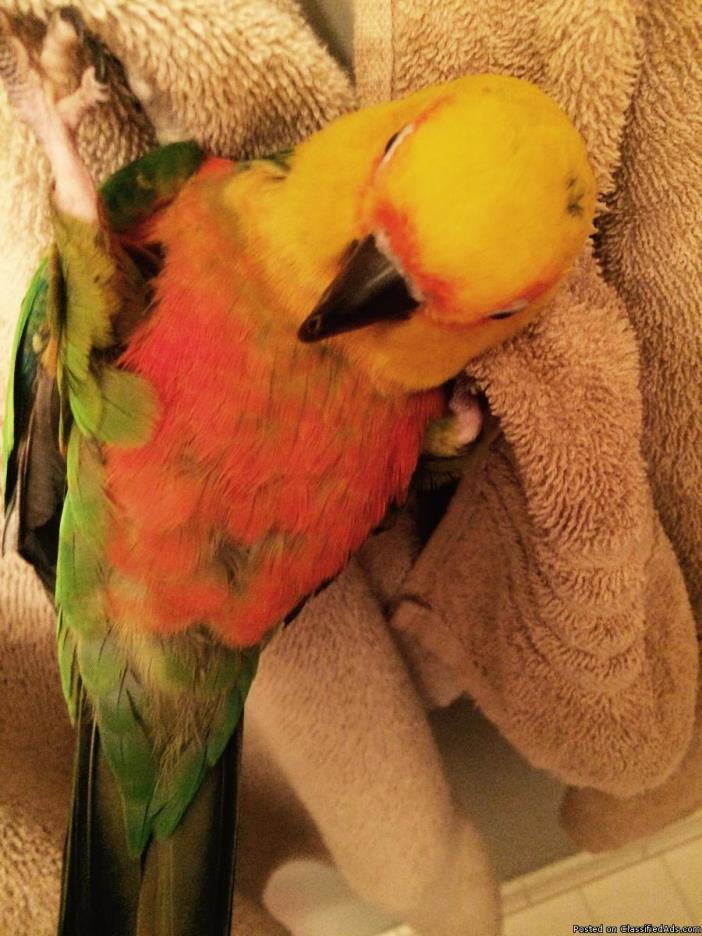 1yr Male Sun Conure w Parrot cage