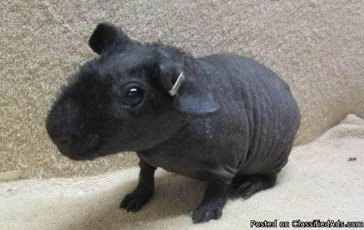 Self Black Male Skinny Pig