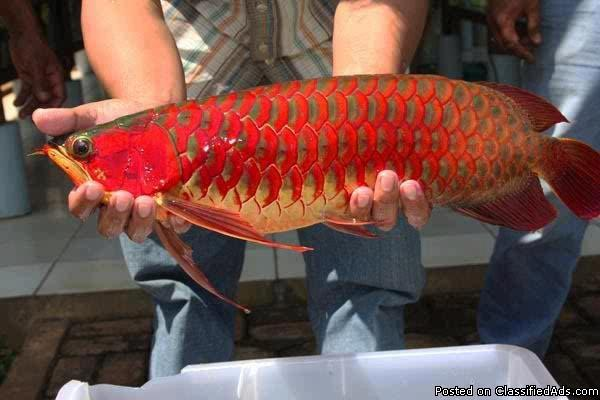 Chili Red, Asian Red, Super Red Arowana fish and many other species for sale