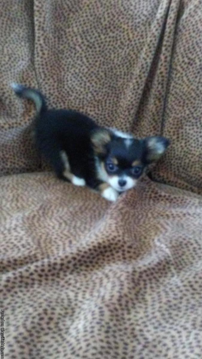 Wanted Micro Teacup long hair Chihuahua or pomeranian
