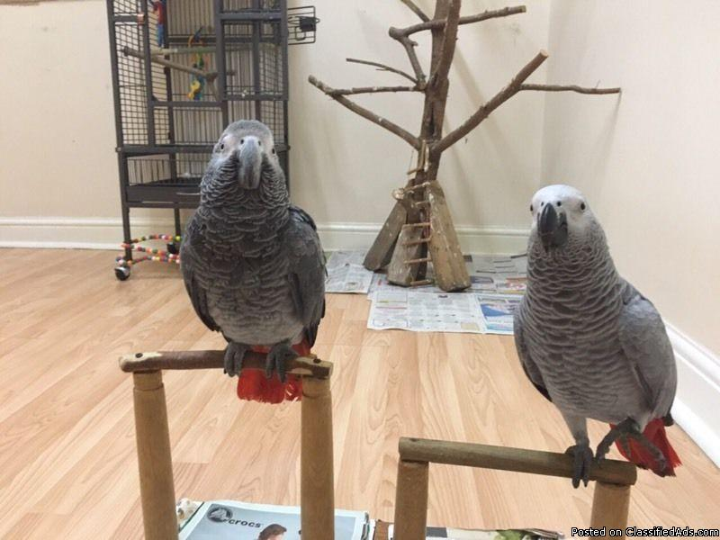 African grey parrot for sale with cage.