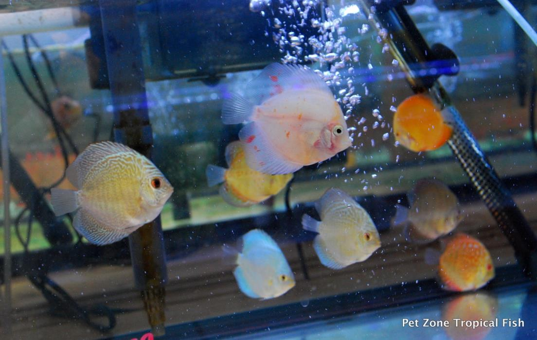Discus fish for sale classifieds for Discus fish price