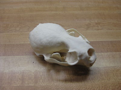 Otter Skull Animals Crafts Traps