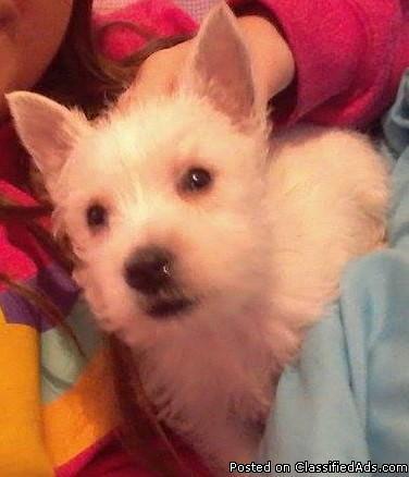 AKC West Highland Terrier Puppy