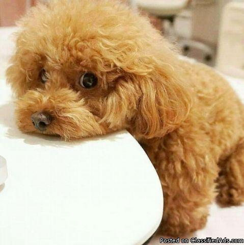 TOP QUALITY Akc regesterd TOYPOODLE puppies