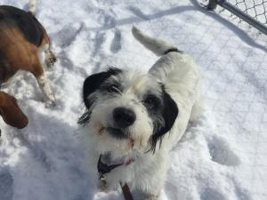 Adopt Charlie a Terrier