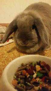 Blue Holland Lop (Topeka) $20