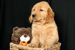 ffyrtgrtgh AKC Golden Retriever puppies for sale