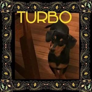 Adopt Turbo a Dachshund