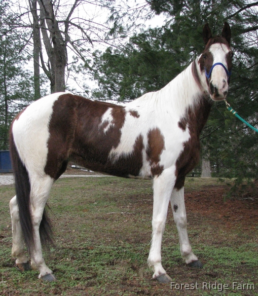 Lillie - An awesome mare for the entire family Rides Double Neck Reins - Patient