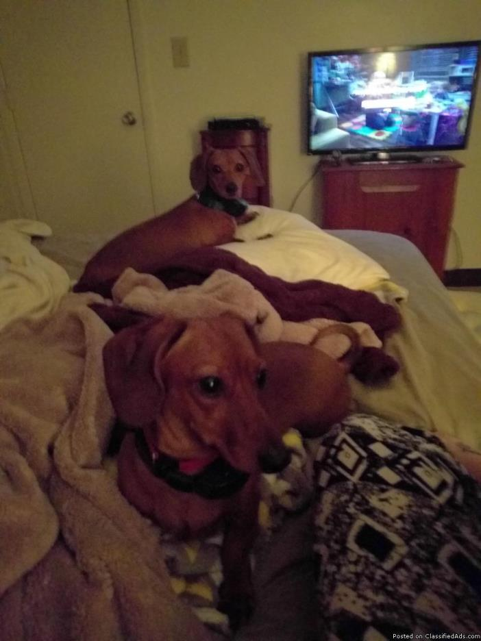 2 mini dauchounds dogs